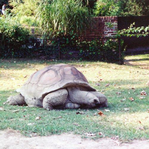 Tortoise, National Zoo, August 2001