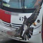 Pigeon (StreetView)