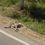 Dead dog (StreetView)