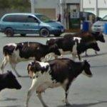 Cows visit a gas station (StreetView)