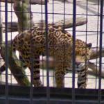 Jaguar (StreetView)