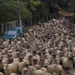 Sheep streetview (StreetView)