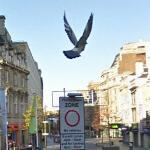 Pigeon in Flight (StreetView)