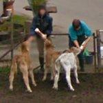 Bottle Feeding Calves (StreetView)