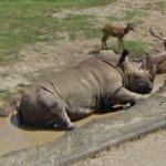 Rhinoceros (StreetView)