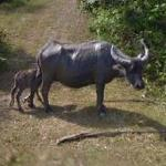 Water buffalo & calf
