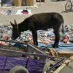 Donkey at a huge flea market