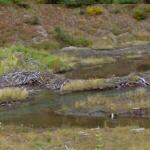 Beaver dam & lodge