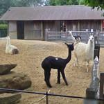 Lamas and Alpacas