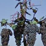 Grapes (StreetView)