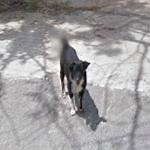 Dog With Tail Blurred (StreetView)