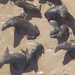 Seals on the beach (lots of them) (Google Maps)