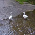 Two white geese in a ford (StreetView)