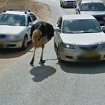 Ostrich (StreetView)