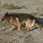 German Shepherd (StreetView)