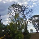 Aboriginal Scarred Tree (StreetView)