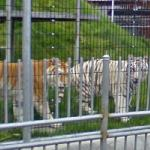 Tigers (StreetView)