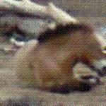 Przewalski horse from Mongolia