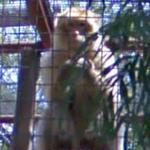 Barbary macaque (StreetView)