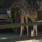 Dorcas gazelle and Giraffe (StreetView)