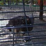 Ostrich (StreetView)