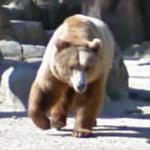 Brown bear (StreetView)