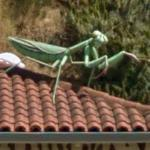 Giant Praying Mantis