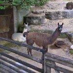Llamas (StreetView)