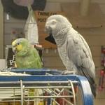 African Grey Parrot and an Amazon Parrot (StreetView)