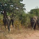 Two elephants (StreetView)
