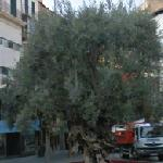 Ancient Olive Tree in Cort Square