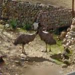 Emus (StreetView)