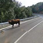 Lost bull