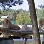 Two lionesses and a male