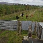 Cows on Disused Railway (StreetView)