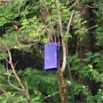 Emerald ash borer trap