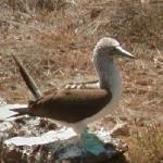 Blue-footed Booby (StreetView)