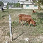 Cattle (StreetView)