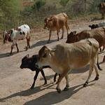 Cows on the road (StreetView)