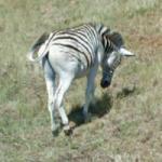 Zebra in Swaziland