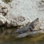 Alligators (StreetView)