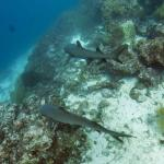 Pair of Sharks in Galapagos