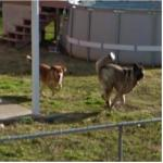 Dogs Charging (StreetView)
