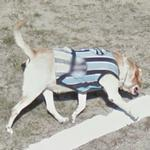 Dog wearing a shirt (StreetView)