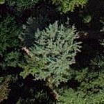 Cedar of Lebanon (Google Maps)