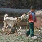Child and goats