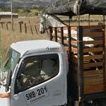 Horse in a truck