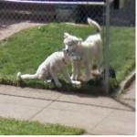 Dogs Playing (StreetView)
