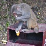 Eating macaque (StreetView)