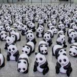 Pandas, lots of them